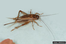 House Cricket - Acheta domesticus
