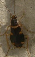 Brownbanded Cockroach - Supella longipalpa