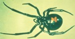 Black Widow Spider - Lactrodectus mactans