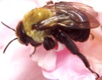 Carpenter Bee - Xylocopa