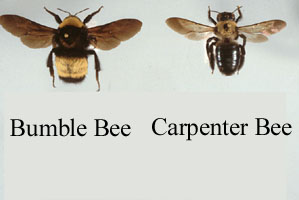 carpenter-bee-bumble-bee