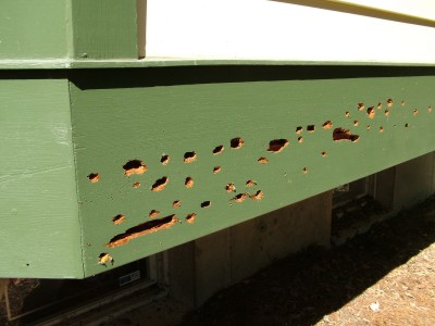 Carpenter Bee and Bird Damage