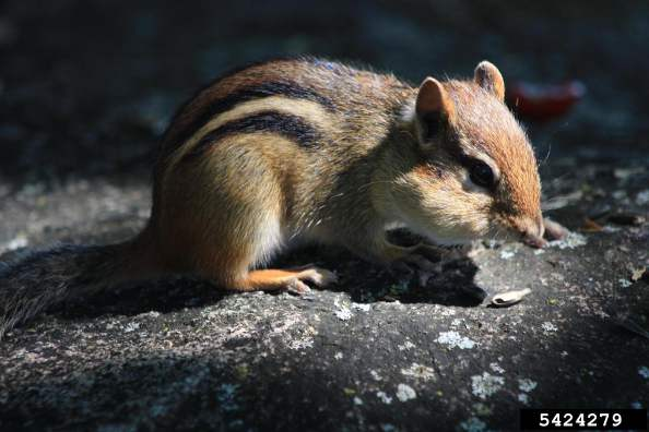Eastern Chipmunk Tamias Striatus