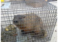Groundhog Trapped
