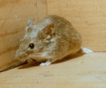 House Mouse - mus domesticus